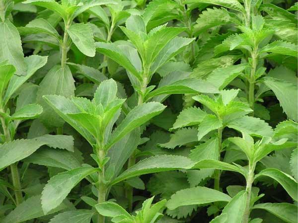 Cây cỏ ngọt là một trong ngũ vị danh trà